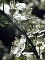 Cherry Plum (Kirschpflaume) - 15 gr. Globuli