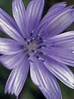 Chicory (Wegwarte) - 15 gr. Globuli