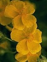 Rock Rose (Gelbes Sonnenröschen) - 15 gr. Globuli