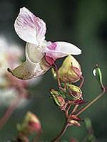 Impatiens (Drüsentragendes Springkraut) - 15 gr. Globuli