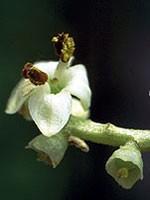 Olive (Olive) - 15 gr. Globuli