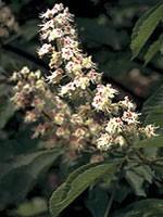 White Chestnut (Weiße Kastanie) - 15 gr. Globuli