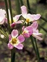 Water Violet (Sumpfwasserfeder) - 15 gr. Globuli