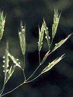 Wild Oat (Waldtrespe) - 15 gr. Globuli