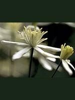 Clematis (Weiße Waldrebe) - 15 gr. Globuli
