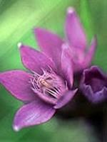 Gentian (Herbstenzian) - 15 gr. Globuli
